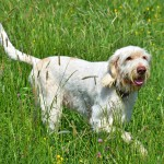 Spinone před
