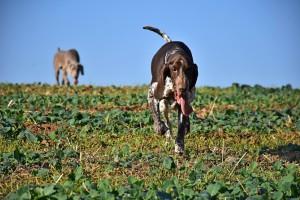 Vracejí se uhnaní po sledování zajíce
