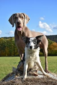 Pes a liška