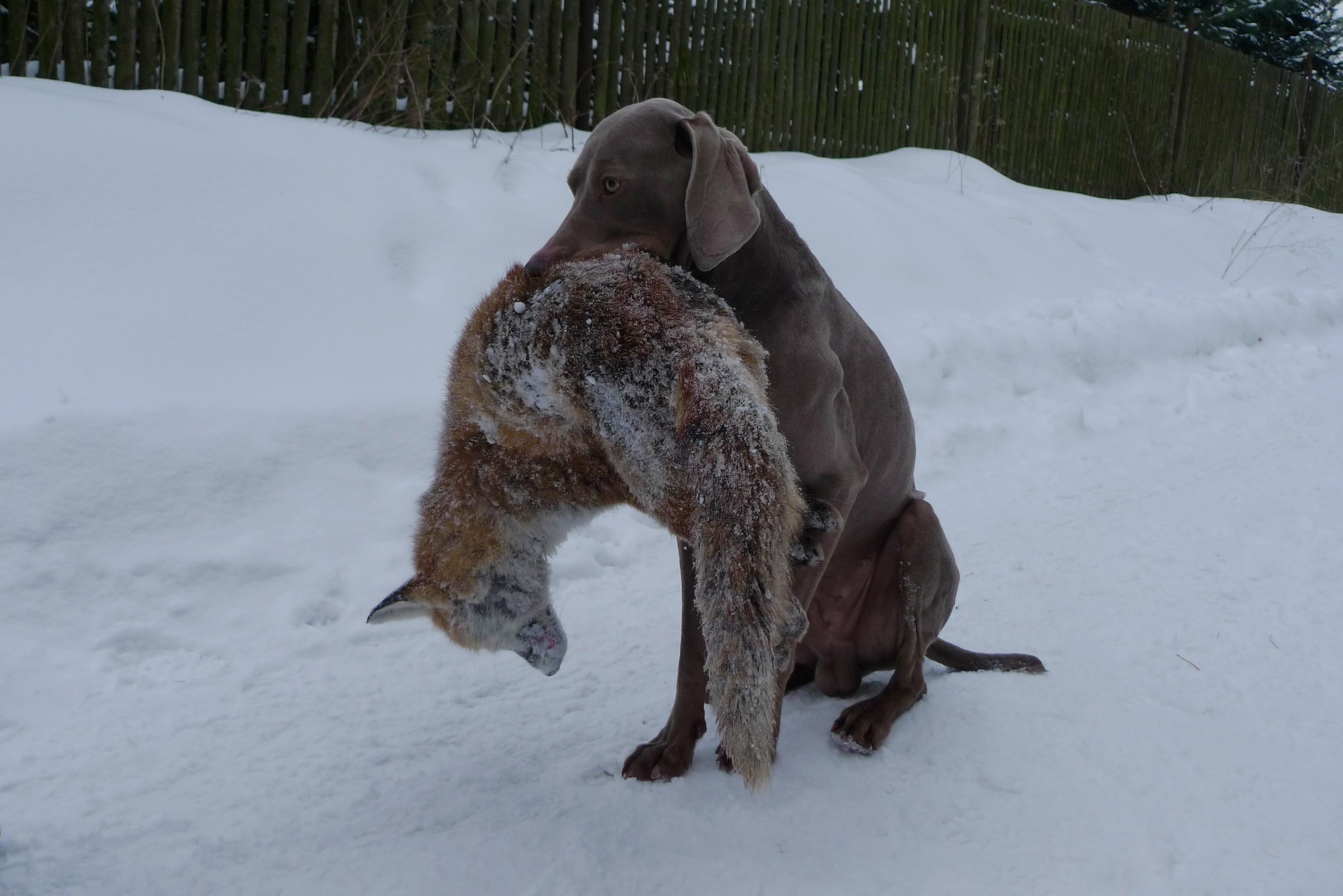 Aport lišky